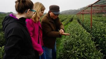 china-tea-fields